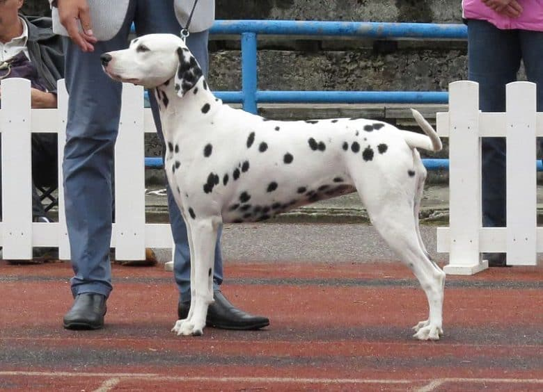 Dalmatian posing side view in a dog show