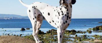 Dalmatian dog on the beach