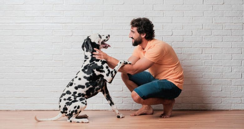 Dalmatian playing with his owner
