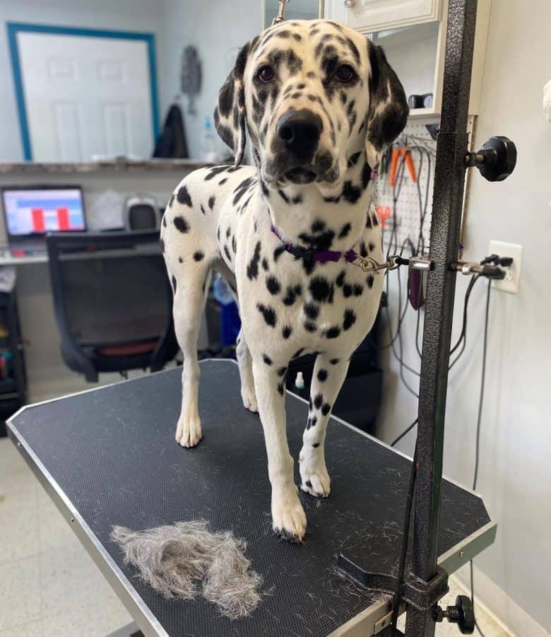 Nyla, the Dalmatian dog, after a deshedding treatment