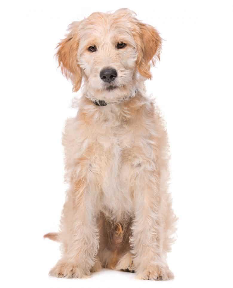 Adorable Labradoodle mix dog portrait