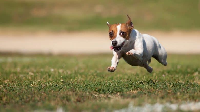 Energetic Jack Russell Terrier running
