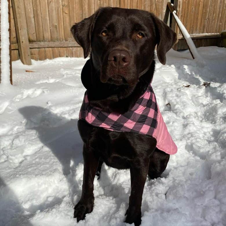 English Labrador wearing scarf