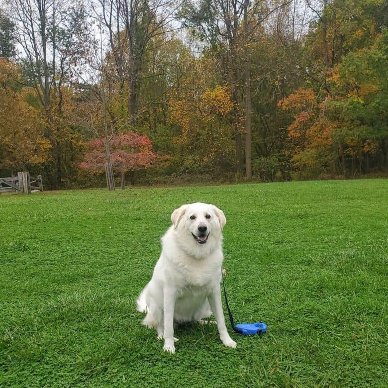 Fat Great Pyrenees Lab mix