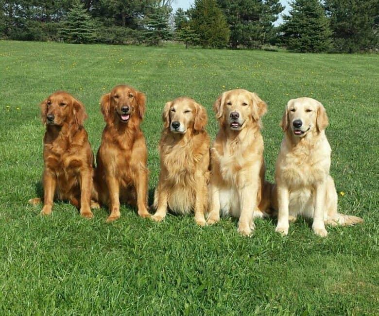 Five Golden Retrievers
