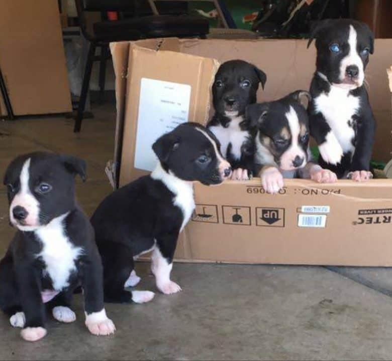 Five Malamute Pitbull mix puppies