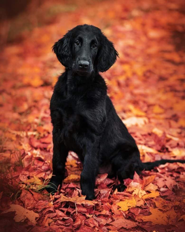 Flat-Coat in the autumn field