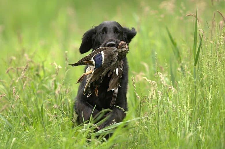 Flat-Coated Retriever hunting wild duck
