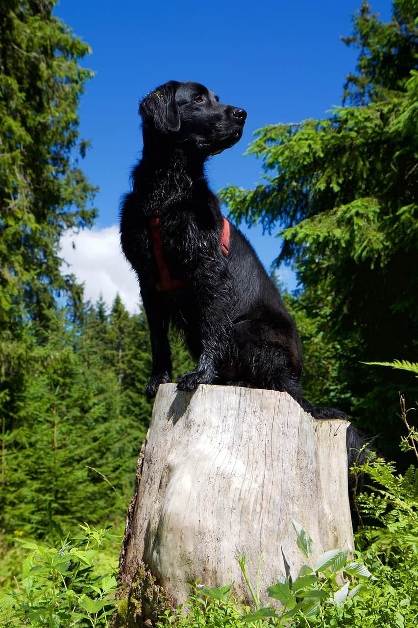 Flat-Coated Retriever in the forest