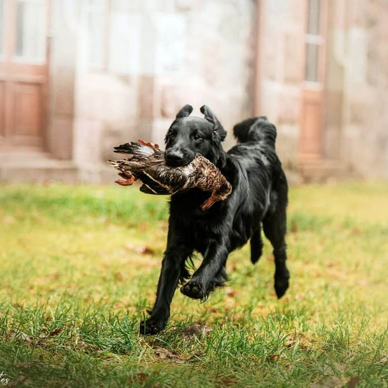 Flat-Coated Retriever running with wild duck