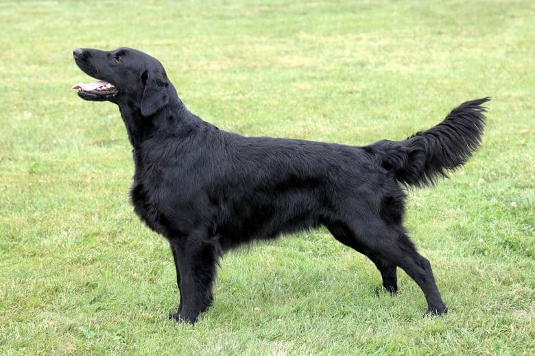Flat-Coated Retriever side view