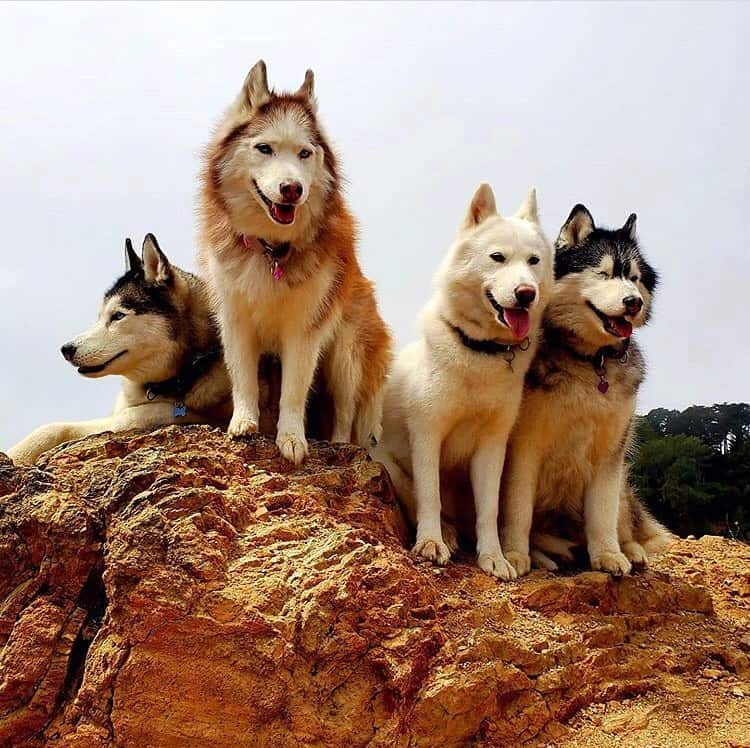 Four Siberian Huskies with different colors