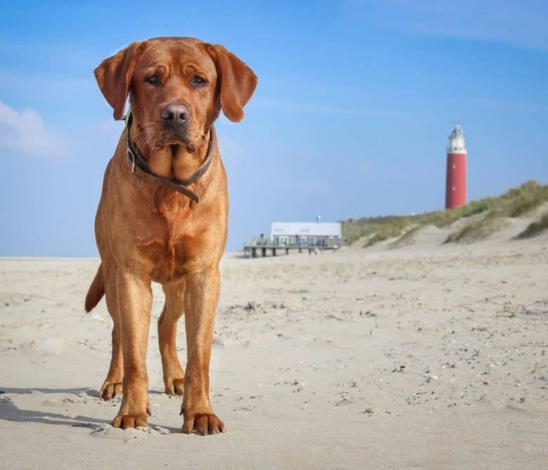 Fox Red Lab standing on the sand