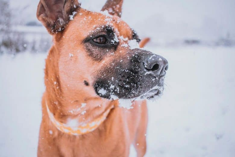 German Shepherd Boxer mix in the snow