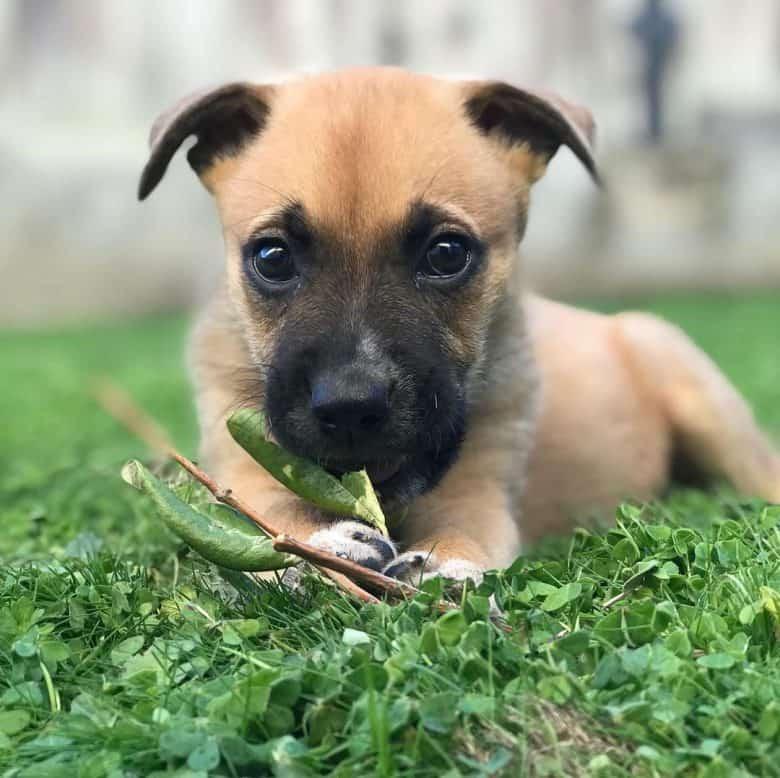 Cute German Shepherd Boxer mix puppy