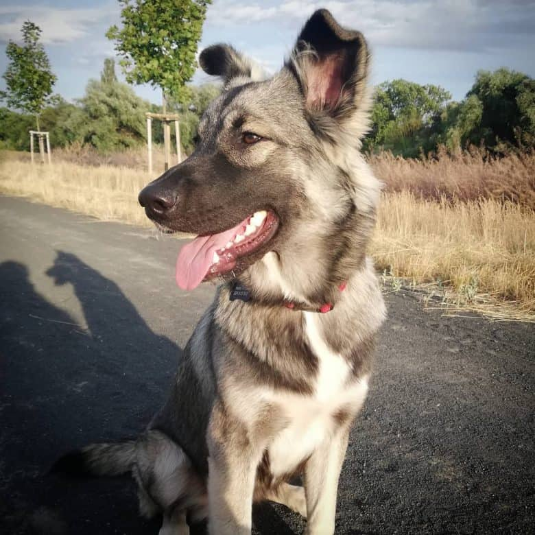 German Shepherd Malamute mix under the sun