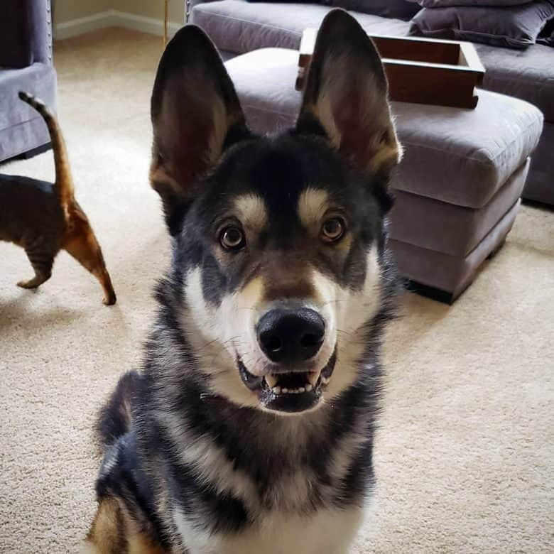 German Shepherd Malamute mix waiting for treat