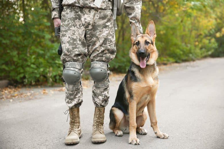 German Shepherd military working dog