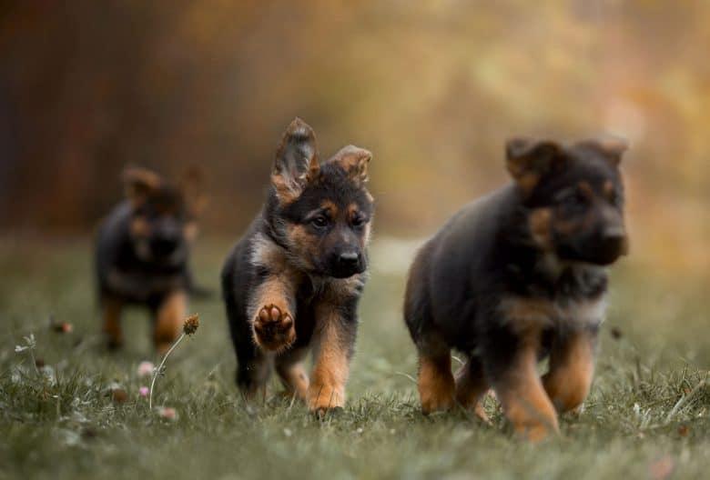 Adorable German Shepherd puppies