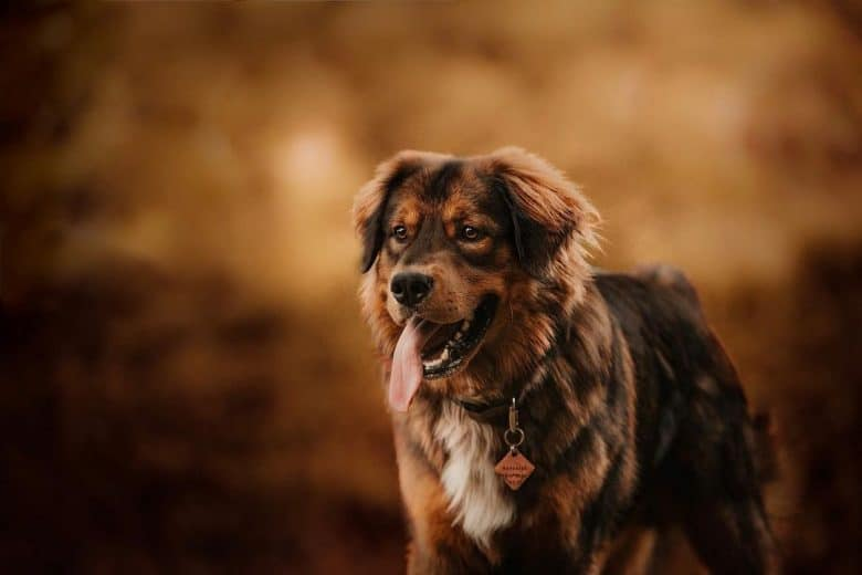 Golden Mountain dog portrait