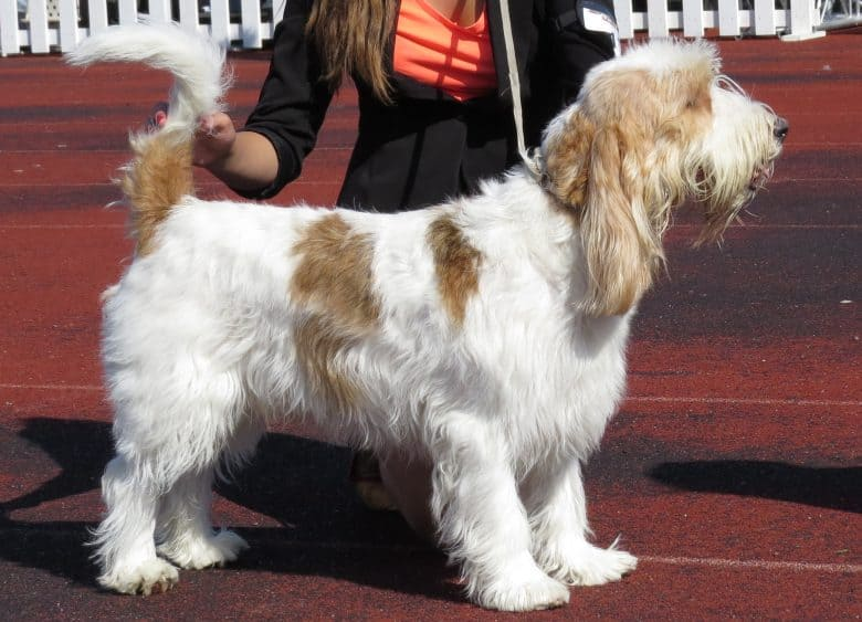 Grand Basset Griffon Vendéen in a dog show