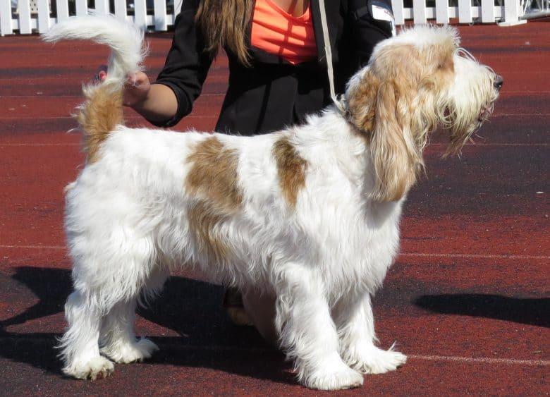 Grand Basset Griffon Vendéen in a dog show