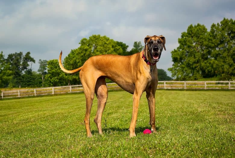Great Dane standing in the field
