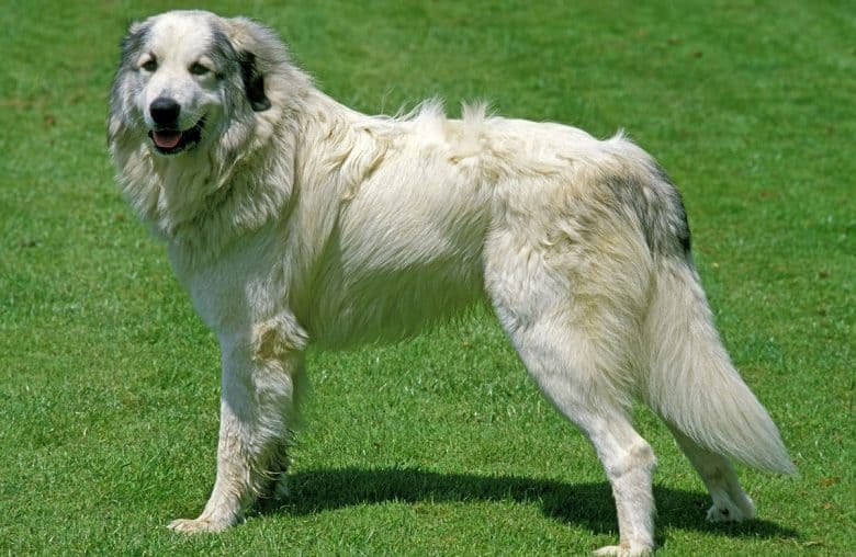 Great Pyrenees standing in greeny grass