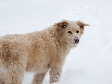 Great Pyrenees Lab mix in the snow