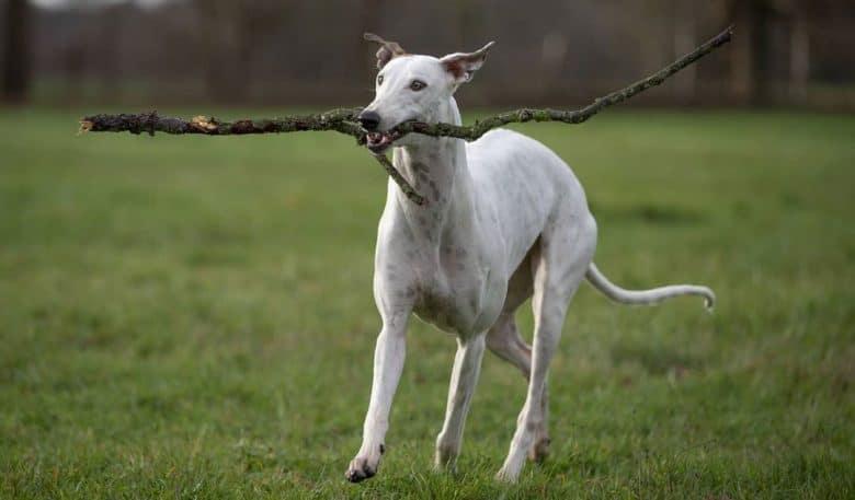 Greyhound running with stick