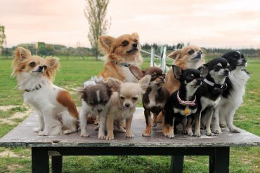 Group of purebred Chihuahuas with different colors