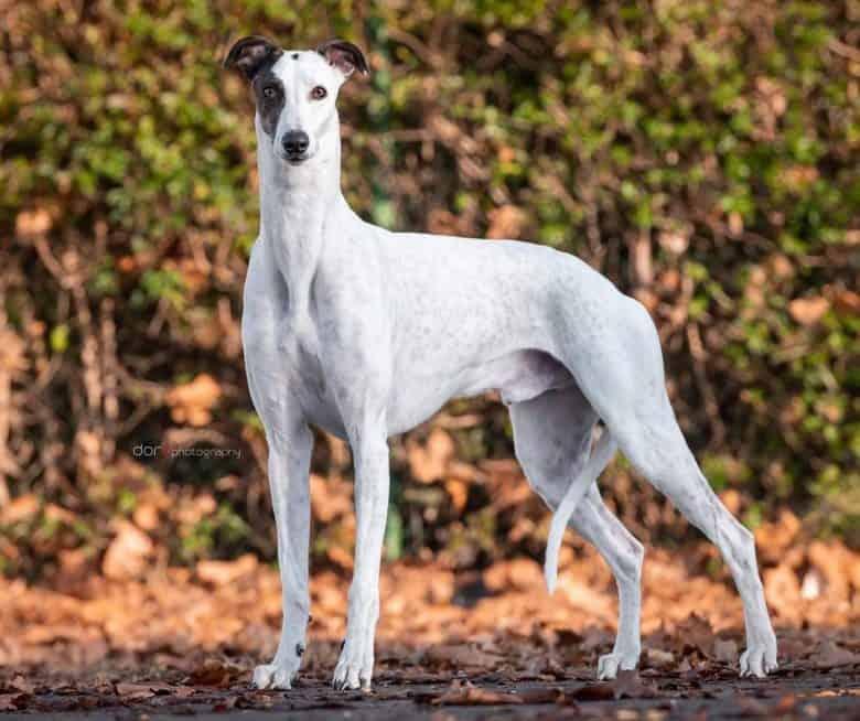 Handsome Show Greyhound portrait