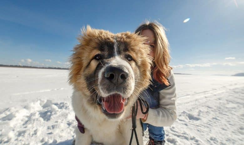 Happy Caucasian Mountain dog with the owner