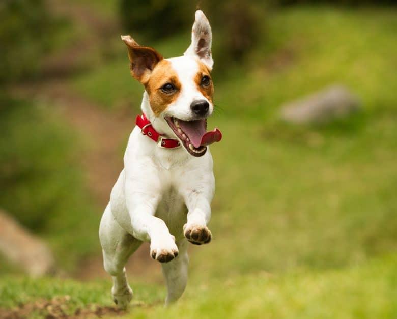 Happy Jack Russell Terrier running