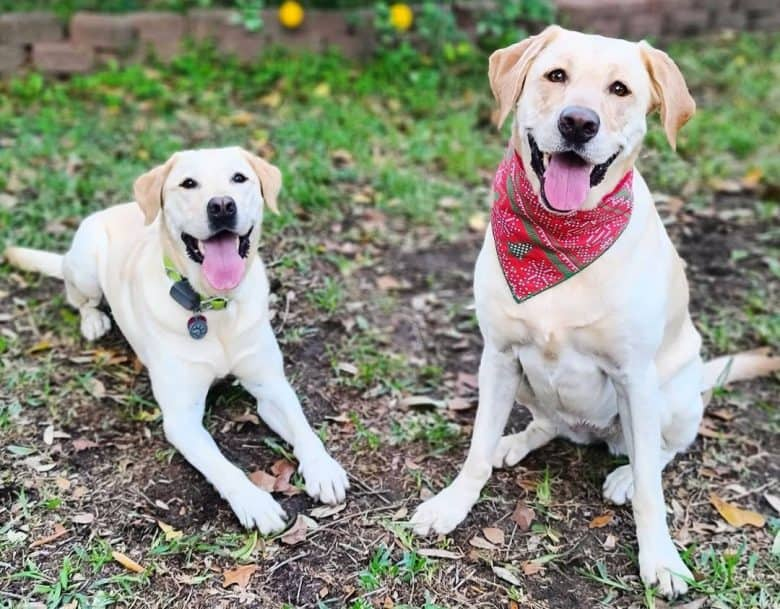 Happy Yellow Labs playing outside