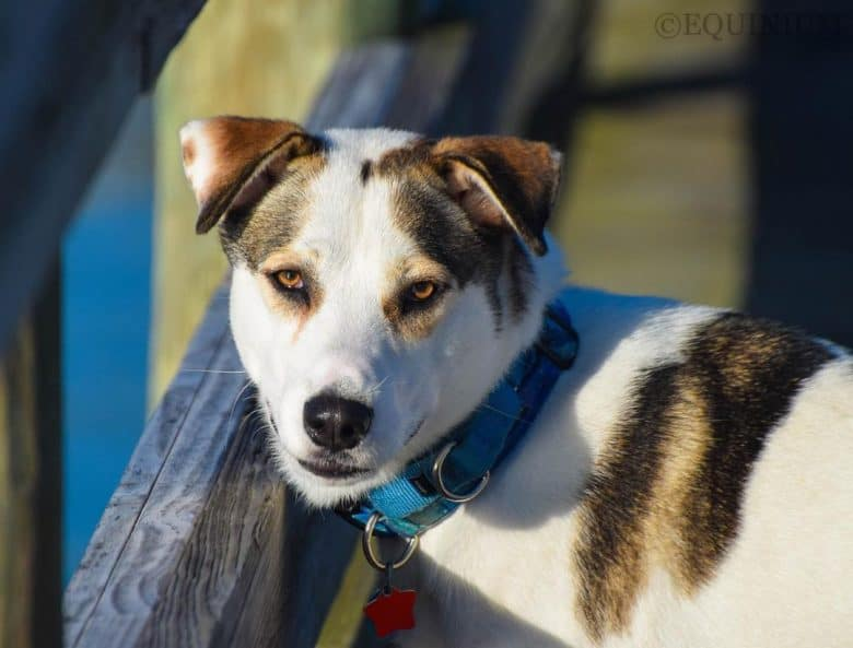 Husky Jack Russell Terrier mix