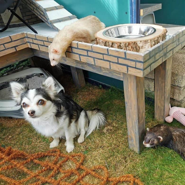 Huskyhuahua with guinea pig