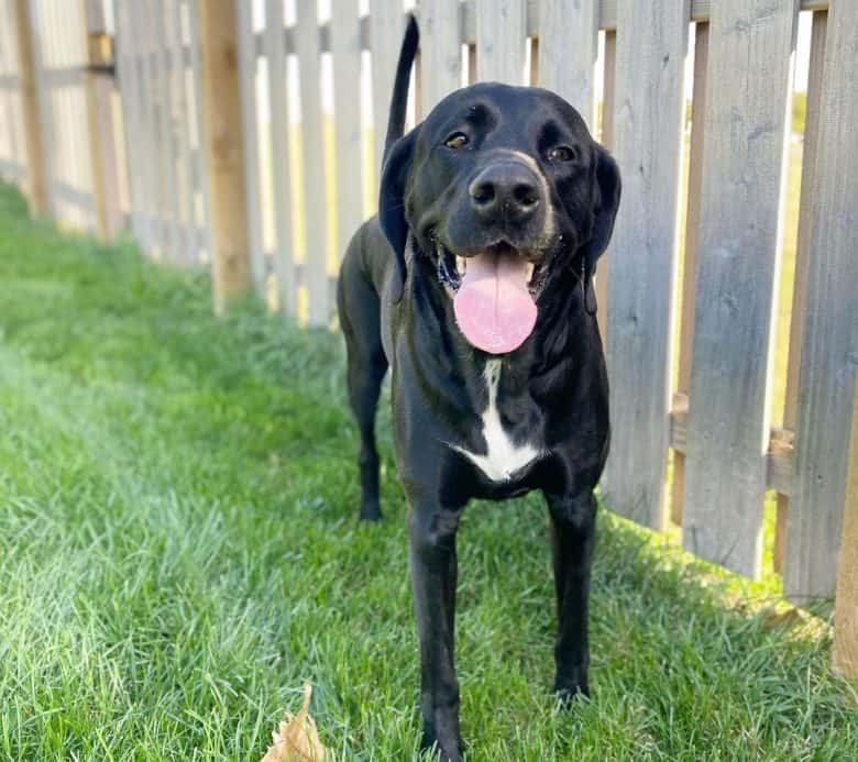 Happy Lab Pointer mix dog roaming outside