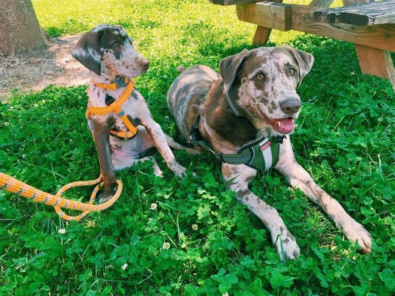 Two Labahoula mix dogs chillin' on the grass