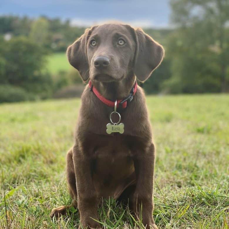 Young Labmaraner mix dog portrait