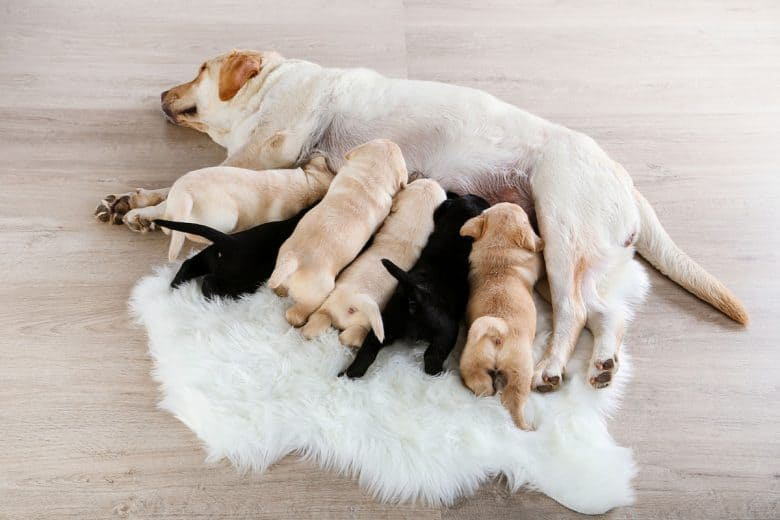 Labrador Retriever feeding her puppies
