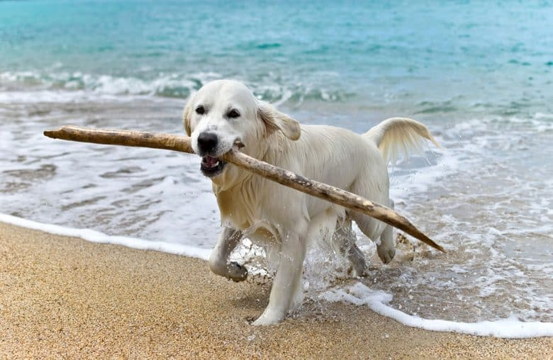 Labrador Retriever playing stick
