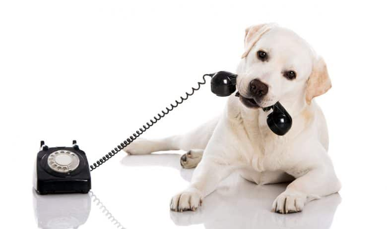 Labrador Retriever playing telephone