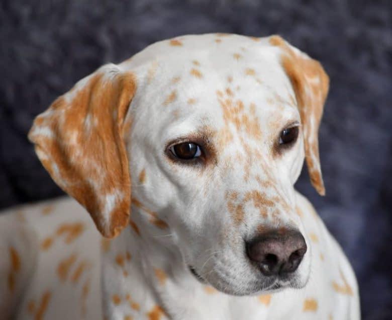 Lemon-spotted Dalmatian dog