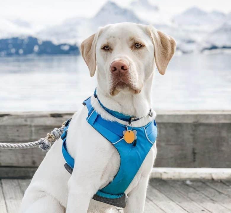 Leucistic White Labrador wearing blue harness