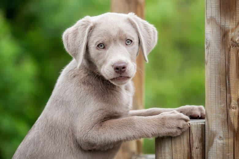 Little Silver Labrador portrait