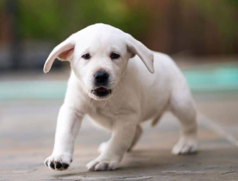 Little White Labrador puppy