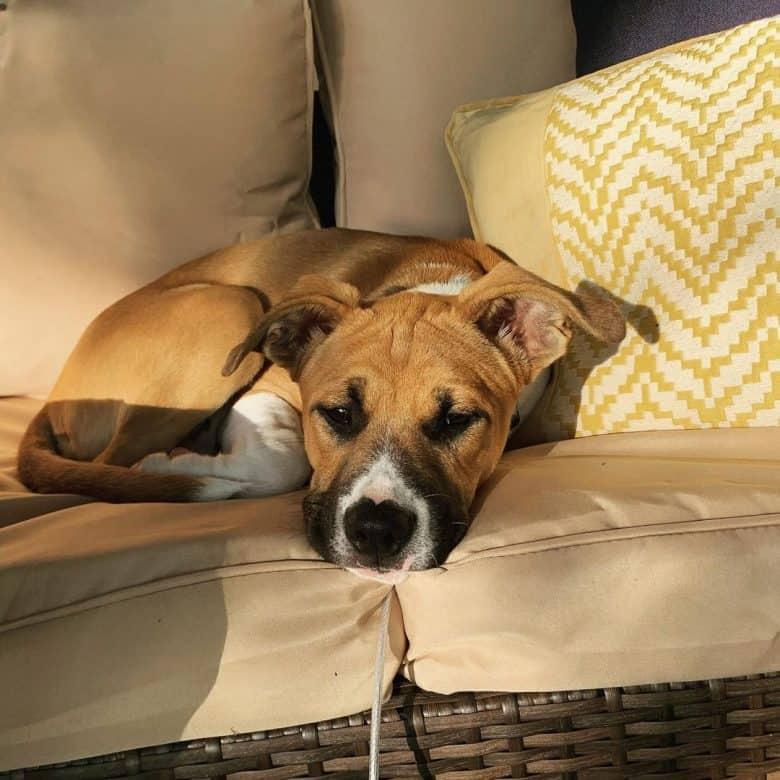 Lonely Boxer Shepherd dog