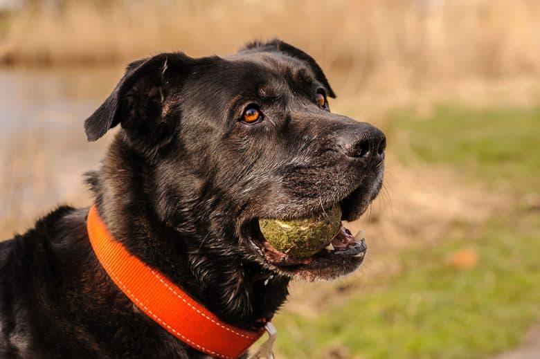 Mastador mix dog chewing tennis ball