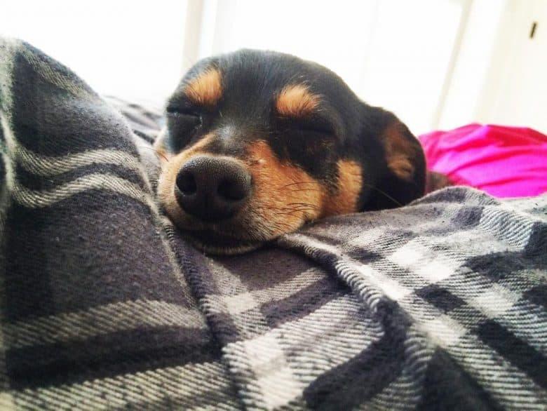 Sleeping Minpin Chihuahua mix